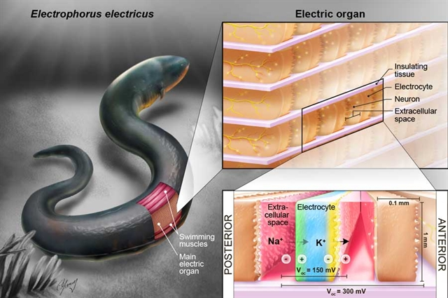 Artificial Electric Organ Mimics Electric Eel To Power Medical Devices  U0026gt  Engineering Com